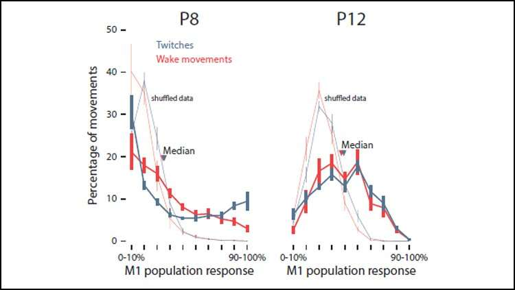 Kedutan tidur memfasilitasi perkembangan korteks motorik pada tikusrat