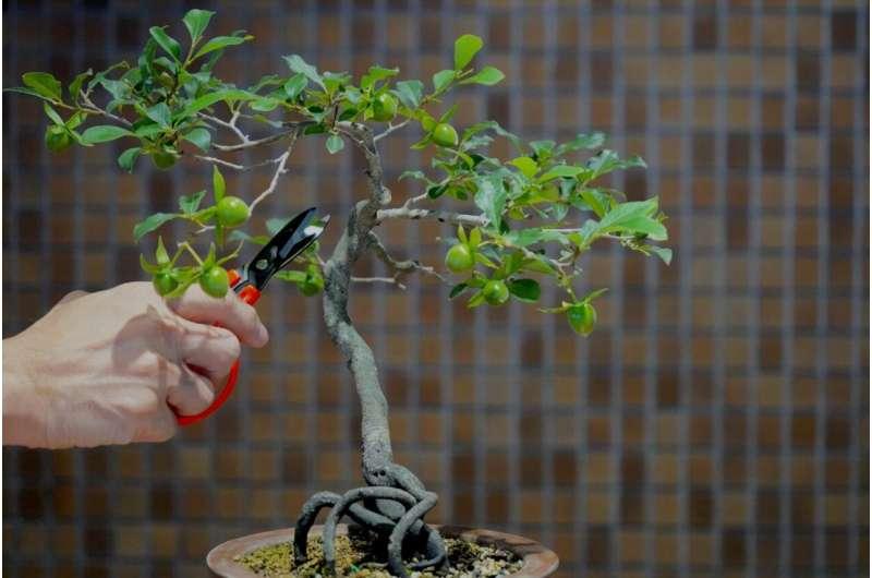 Bonsai biomolekular: Kontrollimi i krasitjes dhe forcimit të degëve të neuroneve