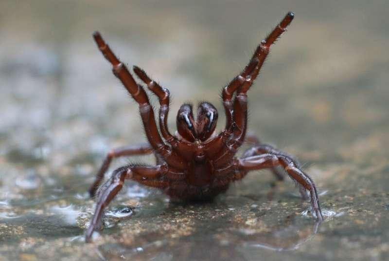 Kanalai iš voratinklio yra vieni žuvingiausių rūšių pasaulyje