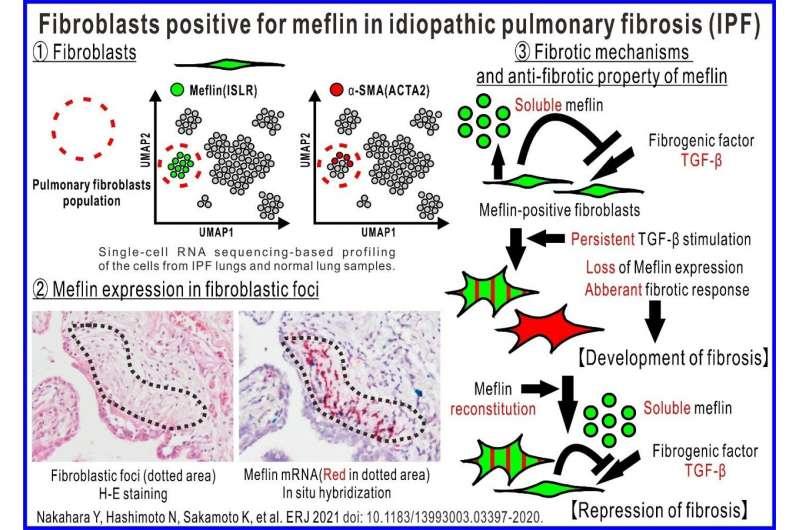 Le cellule che combattono una malattia polmonare mortale