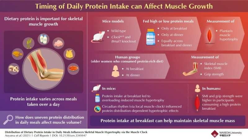 Mengutamakan krononutrisi dengan protein, ramuan pagi untuk pertumbuhan otot