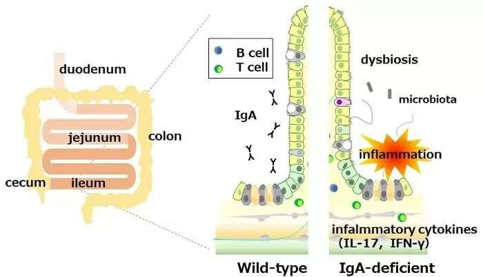 Nenhuma imunoglobulina A leva à inflamação intestinal em camundongos