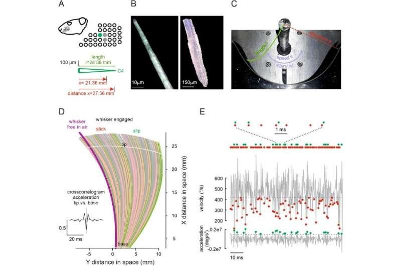 De snorharen van de rat: multidisciplinair onderzoek onthult hoe we textuur voelen