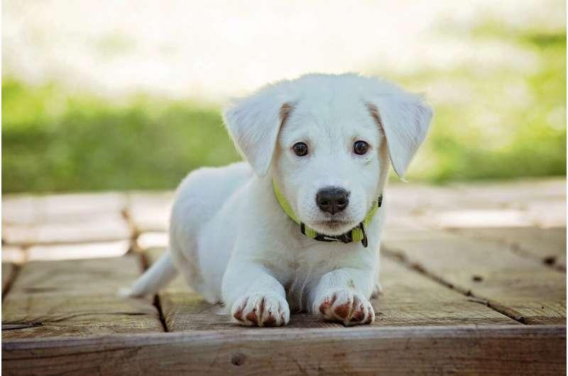 pas ljubimac