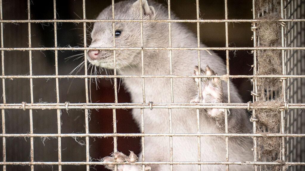 nerts gevangen in een kooi